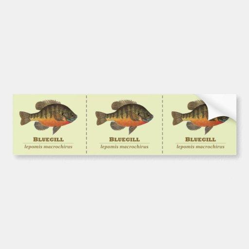 Bluegill Bream Fishing Bumper Sticker