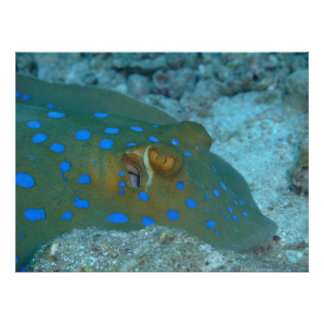 Bluespotted Ribbontail Ray Poster