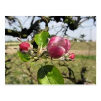 Blurred apple flower closed buds in spring postcard