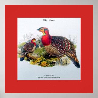 Blyth's Tragopan aka Horny Pheasant J.Gould Poster