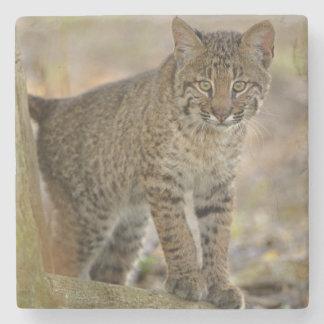 Bobcat, Felis rufus, Wakodahatchee Wetlands, Stone Beverage Coaster