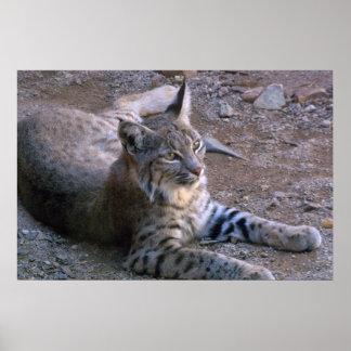 Bobcat in Sonoran Desert Poster
