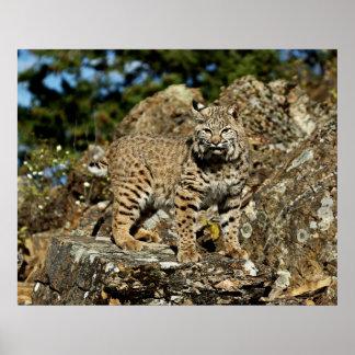 Bobcat in the Rocks Poster