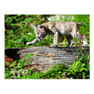 Bobcat Kitten on the Prowl Postcard