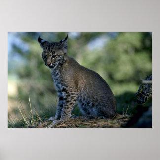 Bobcat-kitten Poster