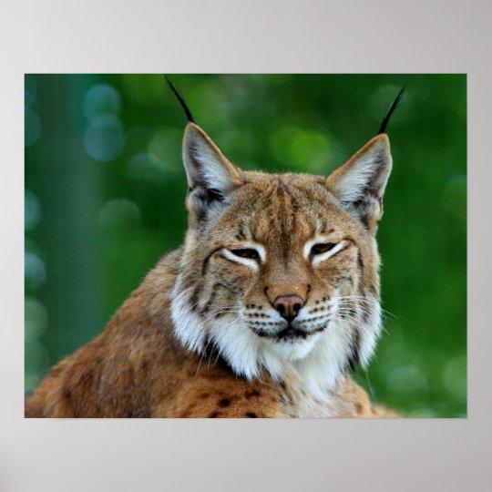 Bobcat or lynx beautiful photo poster, print