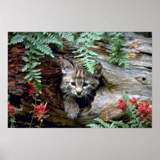 Bobcat-summer-young kitten in hollow log poster