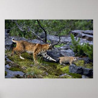 Bobcats-summer-mom with small kitten print