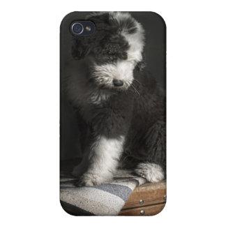 Bobtail puppy portrait in studio iPhone 4/4S cases