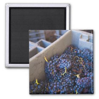 Bodega Marques de Riscal winery, grapes Square Magnet