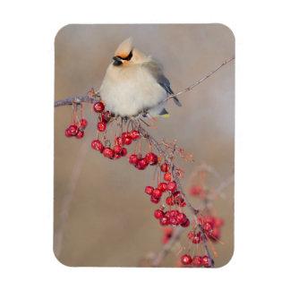 Bohemian waxwing in winter, Canada Rectangular Photo Magnet