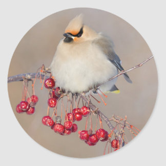 Bohemian waxwing in winter, Canada Round Sticker