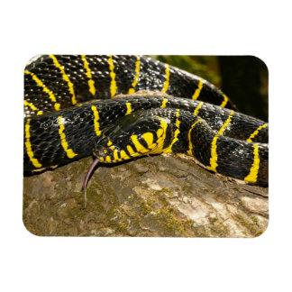 Boiga dendrophila or mangrove snake magnet