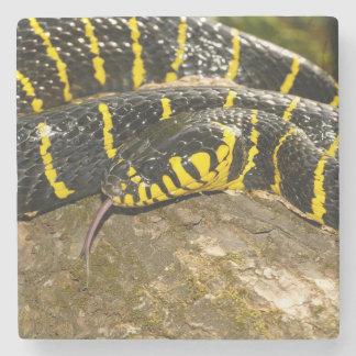 Boiga dendrophila or mangrove snake stone coaster