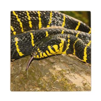 Boiga dendrophila or mangrove snake wood coaster