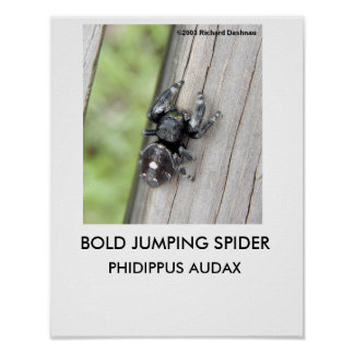 Bold Jumping Spider poster