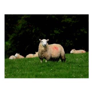 Bold Sheep Postcard