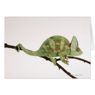 Boldly coloured chameleon with characteristic 2 card