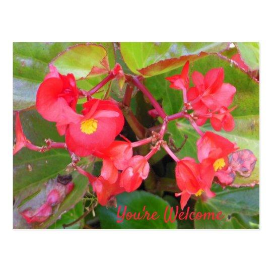 Bon Bon Cherry Begonia's Postcard