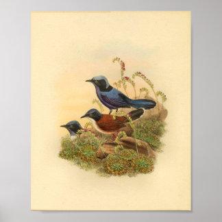 Bonaparte's Todopsis Wren Blue Bird Vintage Print