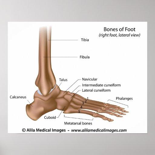 Bones of foot  labelled    diagram      Zazzle