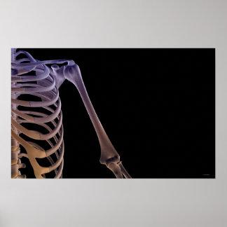 Bones of the Shoulder Poster