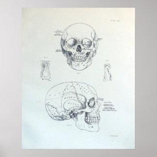 Bones of the skull poster