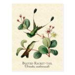 Booted Racket Tail Hummingbirds Art Postcard