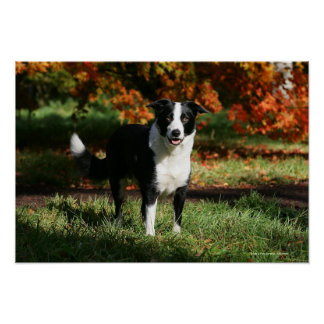 Border Collie Autumn Standing Poster