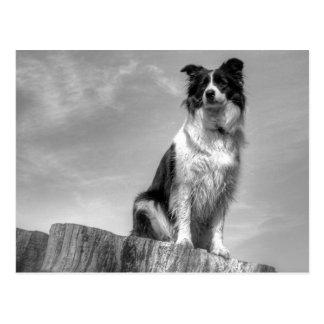 Border Collie dog keeping watch Postcard