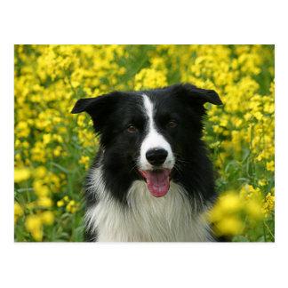 Border collie dogs portrait postcard