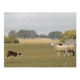 Border collie embankments may postcard