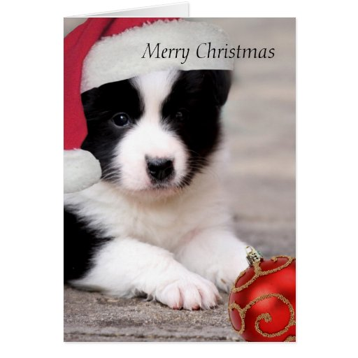 Border Collie - Merry Christmas card