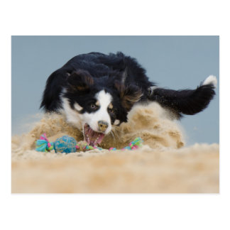 Border collie on ball hunt postcard