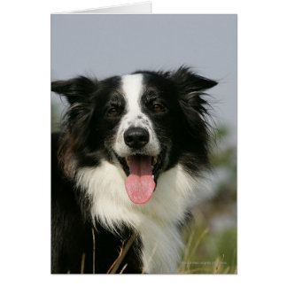Border Collie Panting Headshot 1 Card