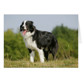 Border Collie Panting Standing Card