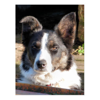 BORDER COLLIE POSTCARD