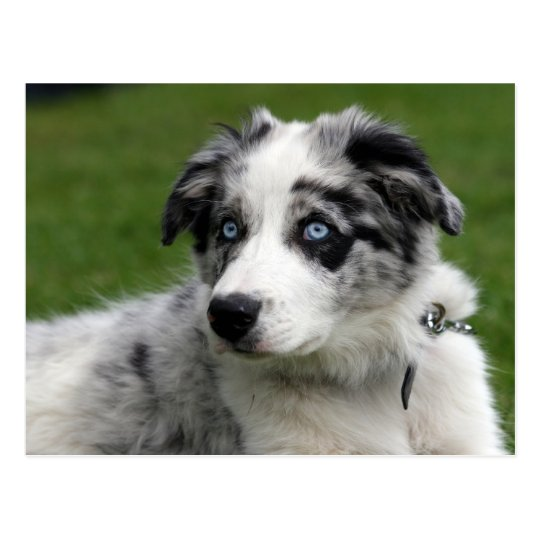 border collie pup postcard