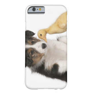 Border collie puppy (6 weeks old) playing with barely there iPhone 6 case