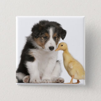 Border collie puppy (6 weeks old) with duckling 15 cm square badge
