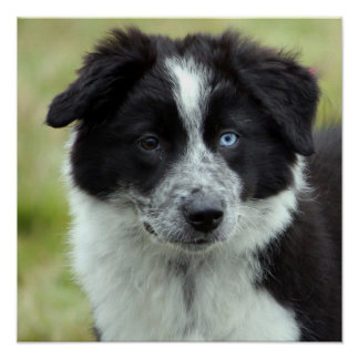 Border Collie puppy dog poster, gift idea Poster