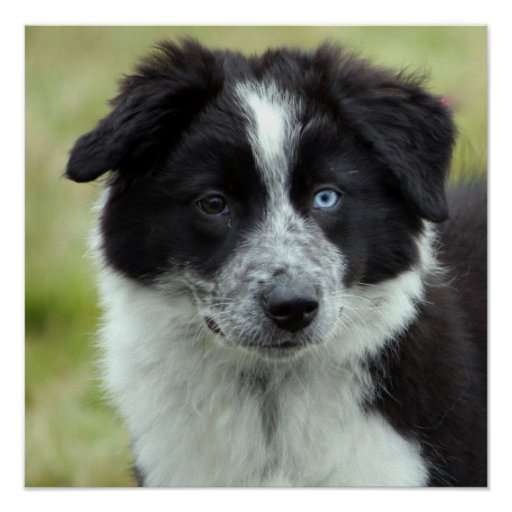 Border Collie puppy dog poster, gift idea