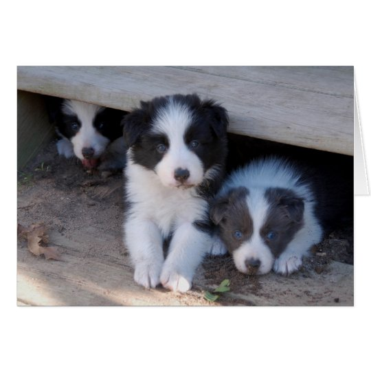 Border Collie Puppy Trio Note Cards