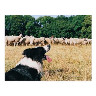 Border Collie Watching Sheep Postcard