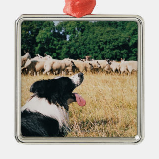 Border Collie Watching Sheep Silver-Colored Square Decoration