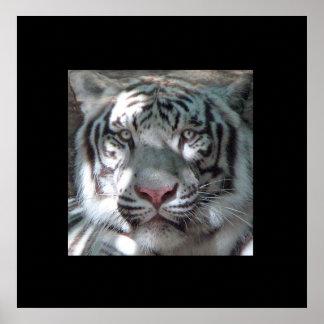 Border White Tiger Portrait Poster