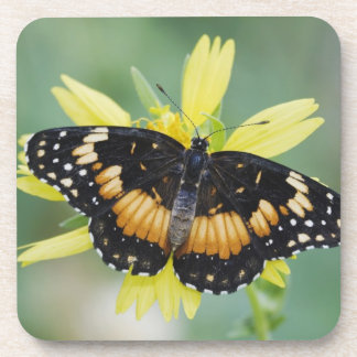 Bordered Patch, Chlosyne lacinia, adult on Beverage Coasters