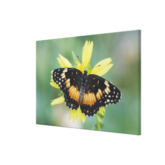 Bordered Patch, Chlosyne lacinia, adult on Canvas Prints