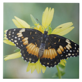 Bordered Patch, Chlosyne lacinia, adult on Large Square Tile