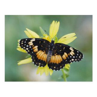Bordered Patch, Chlosyne lacinia, adult on Postcard